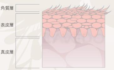 角质层 表皮层 真皮层